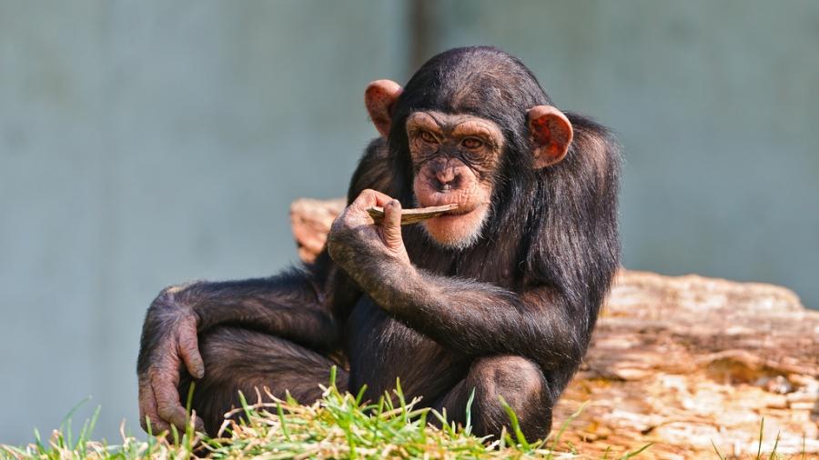 twój wewnętrzny szympans